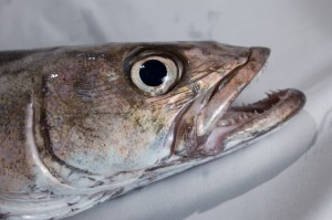 A close up of the head of a Patagonian Toothfish