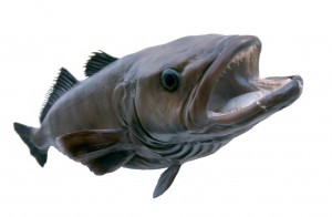 Picture of a cast from a 70kg Patagonian toothfish