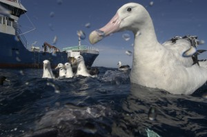 Seabird catches have been eliminated from most toothfish fisheries