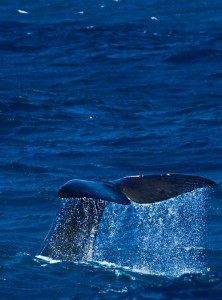 Sperm whale depredation is an issue in some toothfish fisheries
